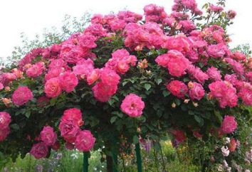 Rose-tree (Stam rose): la descrizione delle varietà, cura, foto
