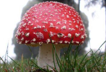 Setas registrados en el Libro Rojo de Rusia (foto). hongos raros Rusia, que figuran en el Libro Rojo de Moscú, Nizhny Novgorod y regiones de Voronezh