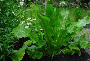 Jak uprawiać chrzan: sadzenie i pielęgnacja