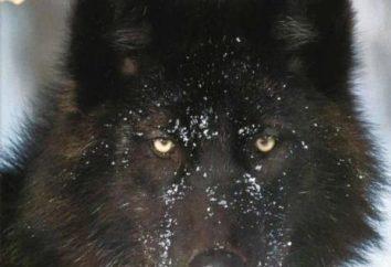 Black Wolf – l'habitant du Canada et de l'Alaska