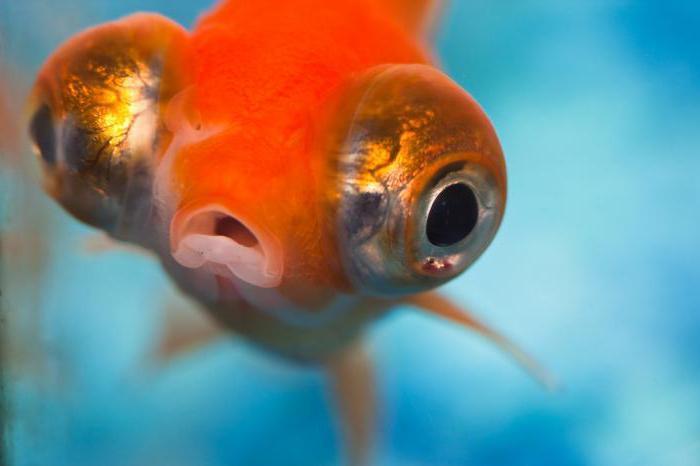 Le poisson le plus drôle dans le monde - le « troisième oeil