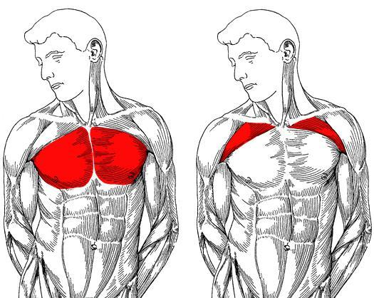 brust muskel training