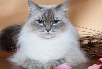 Rasa Neva Masquerade – kota dla każdego, kto kocha zwierzęta, z gęstym, pięknym futrem