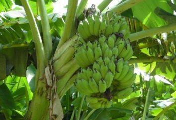 Co rosną banany? Nie na dłoni, a nawet w drzewo