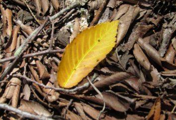 Pourquoi les feuilles de ficus tombent. Dans les feuilles de ficus jaunir et tomber