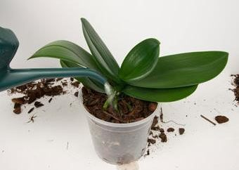Cómo regar las orquídeas?