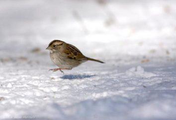 Faits intéressants sur les oiseaux: moineau pourquoi ne pas aller et sauter?