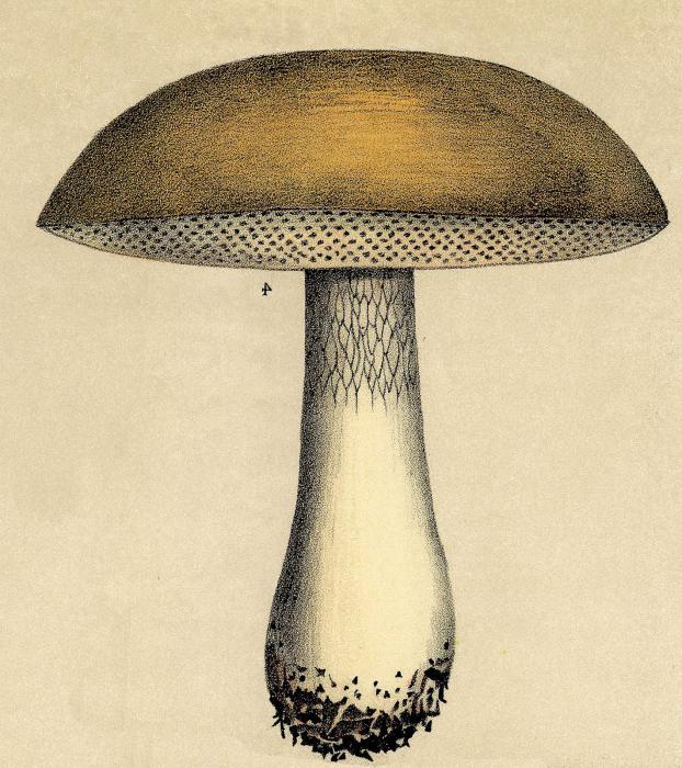 Un suggerimento importante. Non esitate a lungo su come disegnare un fungo. 72ad7c1dab13