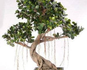 Ficus bonsai: la coltivazione in casa