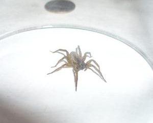 Spinne in der Wohnung ist schlechter Nachbar hinter der Wand! Erste des achtbeinigen los!