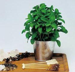 Stevia: la culture, l'élevage, les soins, l'utilisation de