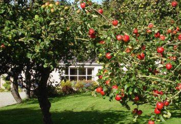Quando é melhor plantar maçãs – na primavera ou no outono? Em que distância você deve plantar macieiras?