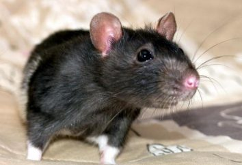 Home rat: Opinie, treść, pielęgnacja, karmienie, hodowla. Ile mieszka w domu szczura