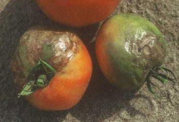 L'apparition du mildiou de la tomate: comment lutter contre