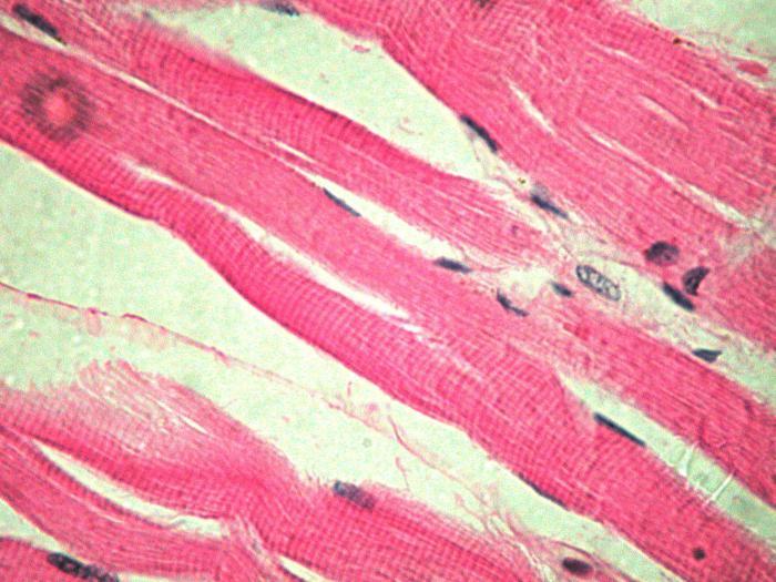 Glatter Muskelgewebe: Strukturmerkmale. Die Eigenschaften des ...