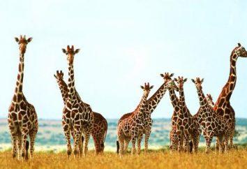 Quante giraffa vertebre cervicali? La risposta è – qui!