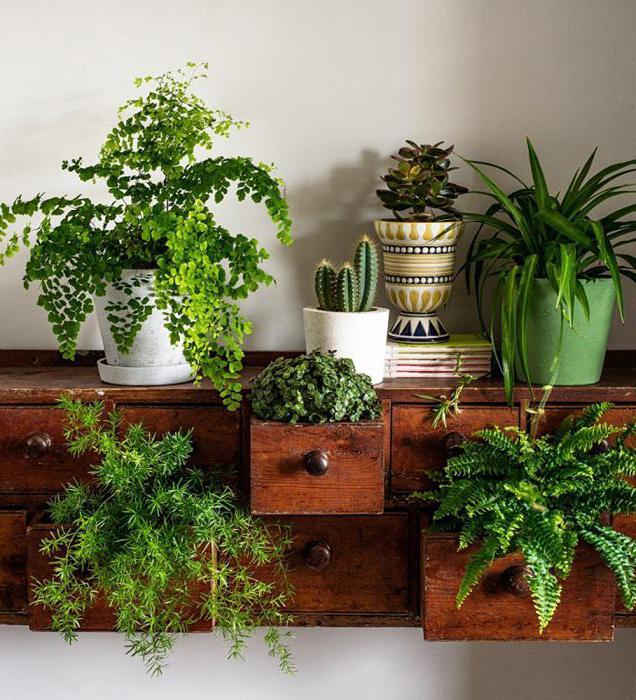 Qui apportent des plantes d 39 int rieur malchance la maison pr sages folkloriques - Plante porte malheur ...