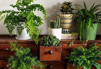 Plantas de casa que trazem má sorte para a casa. presságios populares