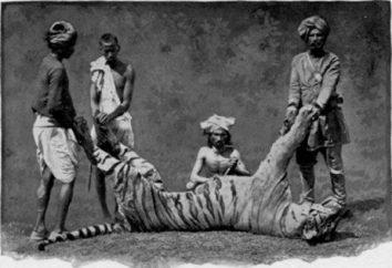 Champawat Tiger – bestia-zabójca, przyniosła wiele koszmarów