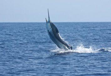 Sen rybaka: ryby marlin
