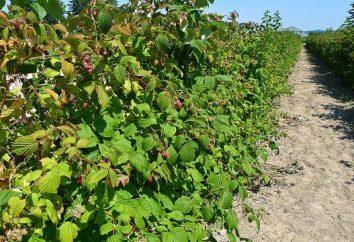 Cómo propagar las frambuesas? cultivo de frambuesas