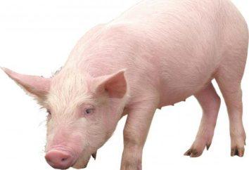 W przypadku gdy żywe świnie domowe?