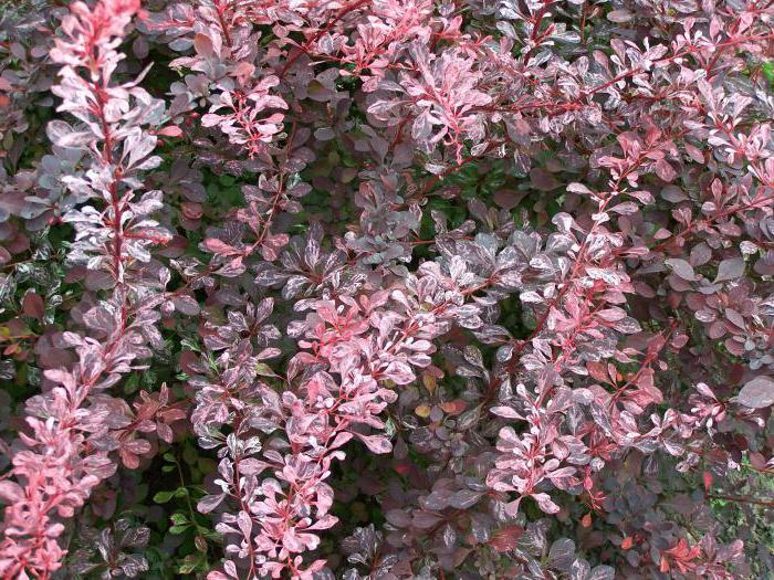 les arbustes feuilles rouges fusains berberis thunbergii description arbustes d 39 ornement. Black Bedroom Furniture Sets. Home Design Ideas