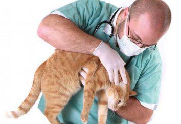 Dirofilariasis u kotów: objawy, leczenie w domu