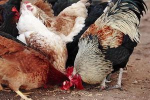 Comme l'alimentation des poules pondeuses: le régime alimentaire et le calendrier d'alimentation
