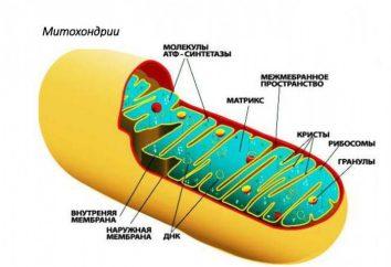 Biologia molekularna – nauka badająca rolę mitochondriów w metabolizmie