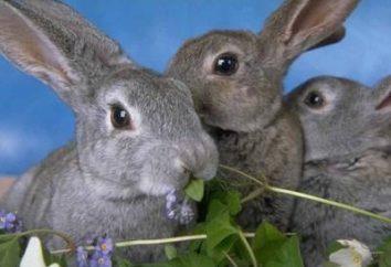 Interpretazione dei sogni: sogno di ciò che i conigli