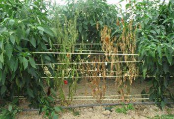 Comment reconnaître la maladie de poivre dans les serres