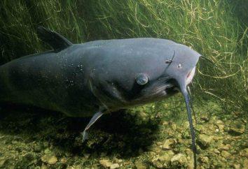 Los peces predadores. Tipos y una variedad de peces depredadores