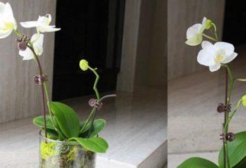 Soins des orchidées dans le vase