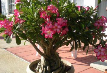Desert Rose: descrizione e foto