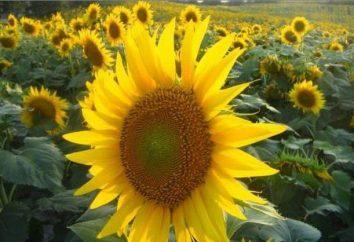 L'olio di girasole raffinato differisce da altri grassi vegetali