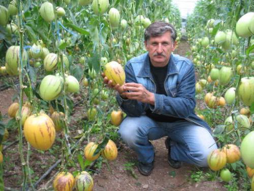 Pepino crescere in casa pepino ramesse e consuelo for Melone coltivazione