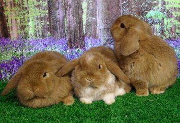 Warum Kaninchen lop-eared Schafrasse?