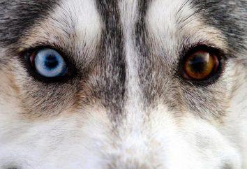 Husky con otros ojos: característica de la raza o el matrimonio?