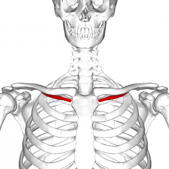 Tolle Anatomie Des Muskels Ideen - Menschliche Anatomie Bilder ...