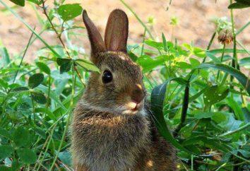 Dziki królik w przyrodzie: opis, zdjęcia