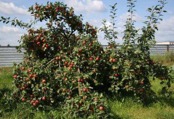 """Apple Tree """"Venyaminovskoe"""": opis odmiany, zdjęcia, opinie"""