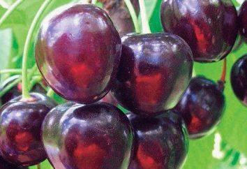 Cherry Czarny duży: opis odmian, sadzenia i pielęgnacji