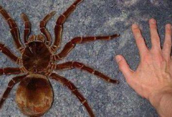 Pająk tarantula Goliat: utrzymanie i pielęgnacja (zdjęcia)