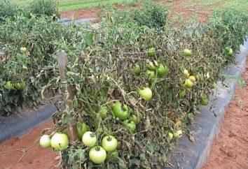 Choroba pomidor. Jak walczyć Phytophthora na pomidorach?
