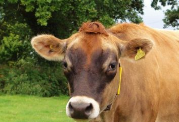 Rind Kuh Jersey: eine Übersicht, Merkmale