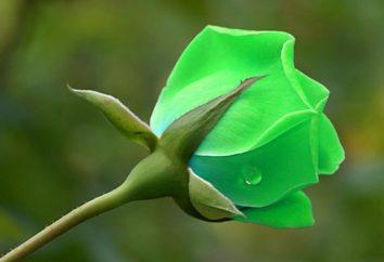 Zielone róże – dar od hodowców