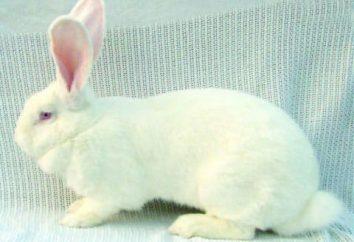 Les lapins de race blanche géante. Description, la culture et l'entretien de la maison