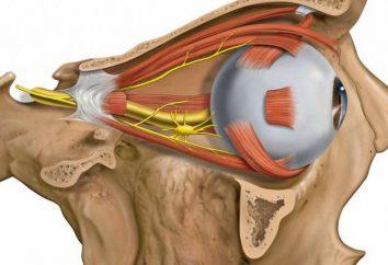 Abducens: opis anatomii, funkcji i cech