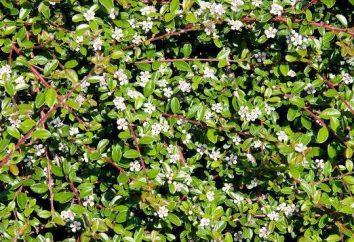 Cotoneaster Dammer: fotos, plantio e cuidados